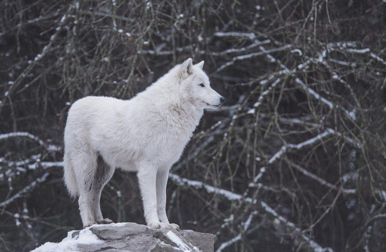 L'histoire des deux loups dans le coeur